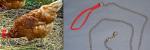 4 Chicken:Leash