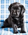 Beautiful Black Labrador Puppy Dog